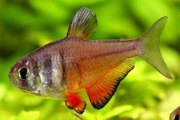 тертого фон ріо в акваріумі