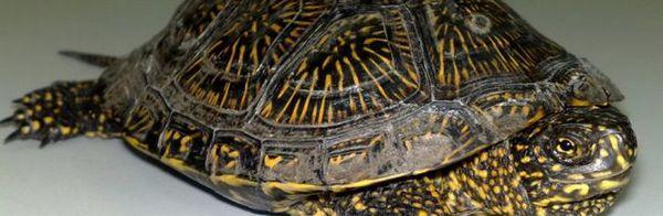 Блатната костенурка: съхраняване, хранене, грижи, описание, отглеждане, снимка, видео.