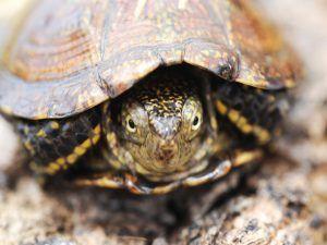 болотяна черепаха в домашніх умовах