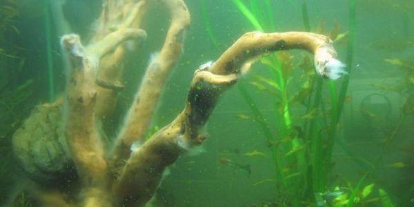 Велика проблема - зелений наліт в акваріумі