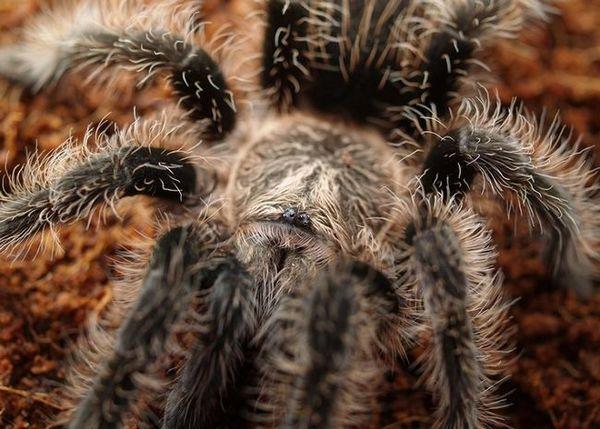 Брахіпельма альбопілосум павук