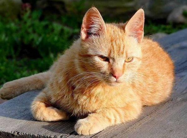Бразилска късокосместа котка