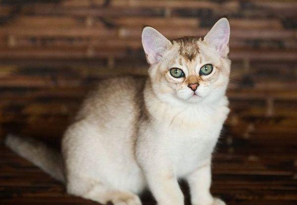 Бурмила - котка с очи надолу