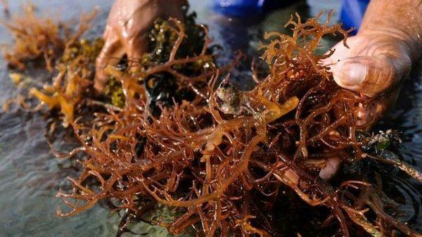Hnědé řasy v akváriu: boj proti hnědým rostlinám