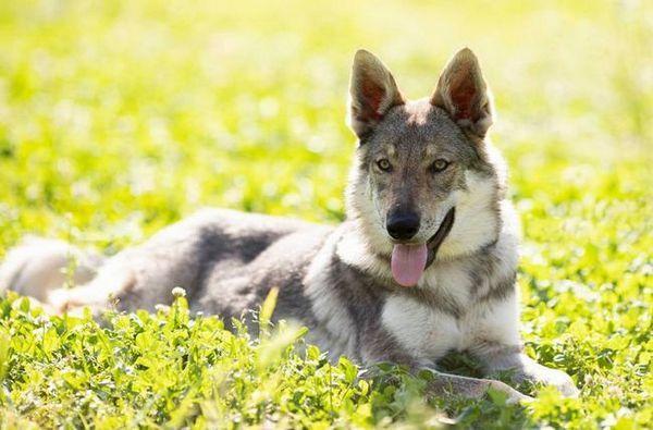 Чехословашки вълк