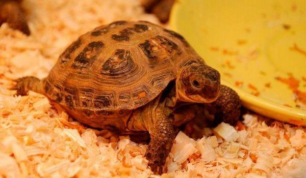 Как да храним домашна костенурка: храна на хищници и тревопасни