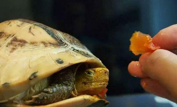 Как да храним костенурка с червени уши у дома