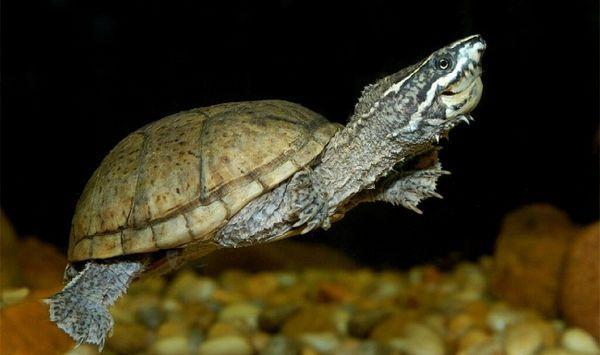 Мускусна черепаха.