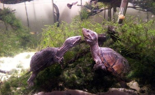 Дві мускусні черепахи.
