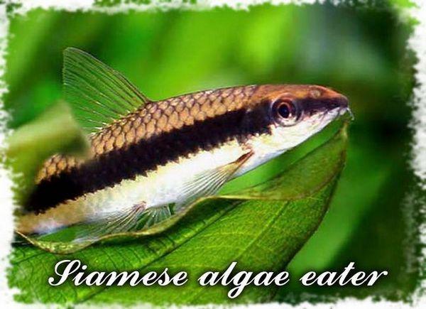 mâncător de alge siamese