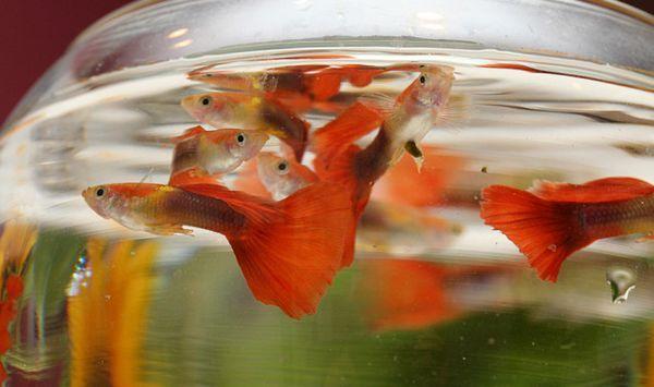 Guppies u okruglom akvariju.