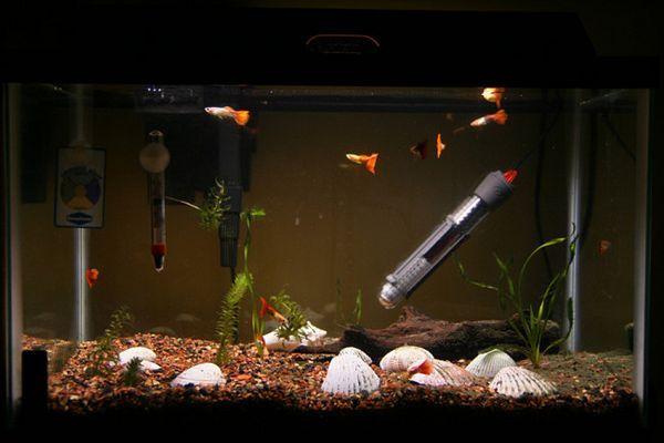 Guppies u prostranom akvariju.
