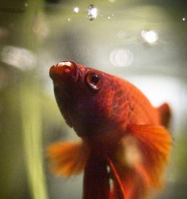 Рибка півник годування.