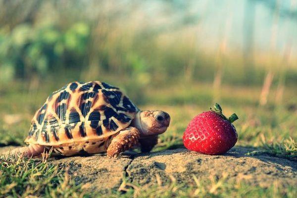 Какво ядат костенурките у дома?