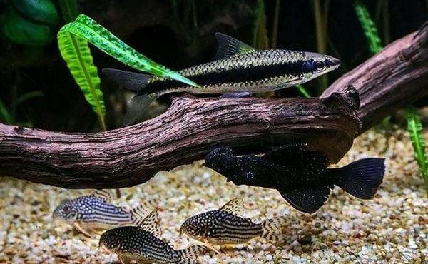 Sumec Shterba s dalšími rybami v akváriu