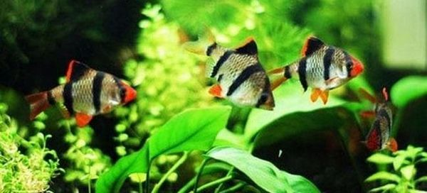 Какво трябва да знаете, за да размножавате барбуси в аквариум