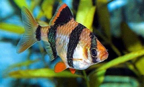 Суматранска барбекю риба (Puntigrus tetrazona)