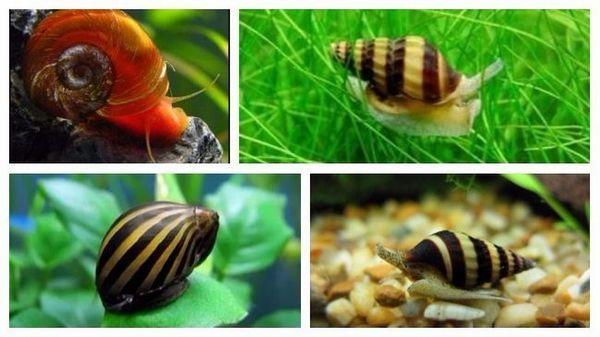 Декоративні акваріумні равлики