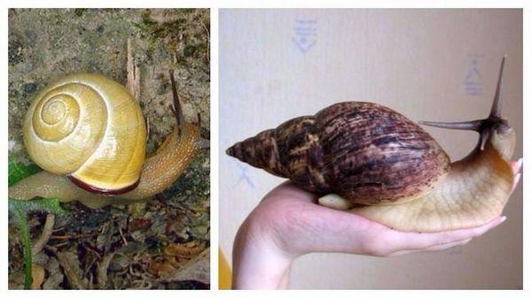 черевоногі равлики