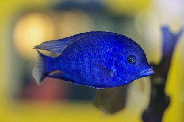 Дельфін блакитний - акваріумна рибка