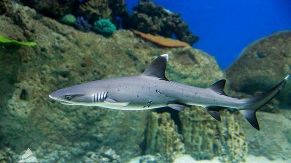 Домашня акула - декоративна рибка для акваріума