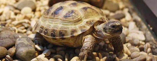 Домашна костенурка: съдържание, описание, възпроизвеждане.