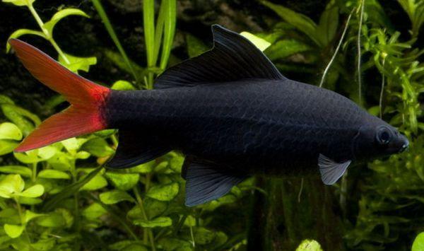 Двоколірний лабео - чорний з червоним