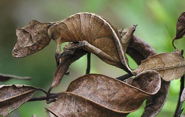 Fantastyczny gekon - liść z oczami