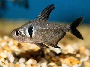 Fantómový čierny alebo čierny ornatus (Hyphessobrycon megalopterus)