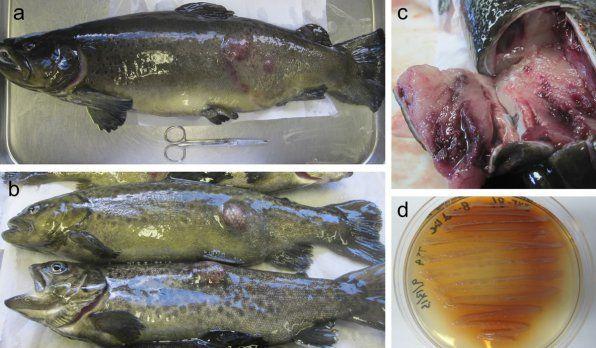 Фурункульоз риб фото