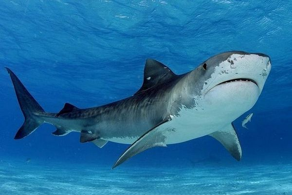 тигар ајкула