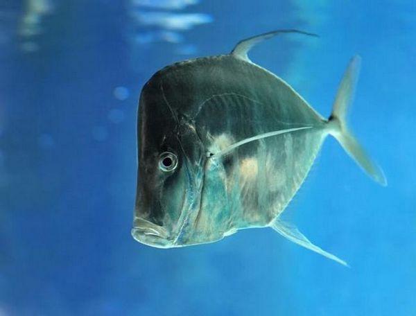 риба вомер