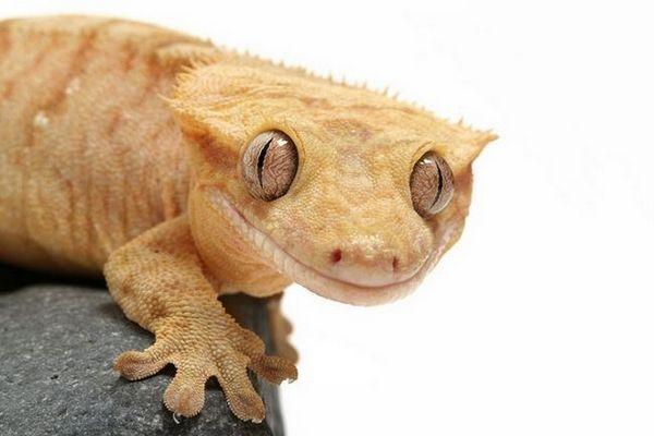 Gecko banana-eater: съдържание на цилиарния бананов гущер