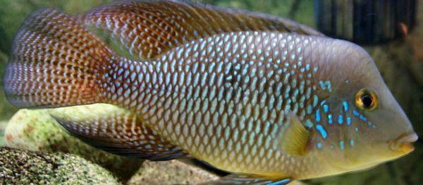 Геофагус бразильський, геофагус штайндахнера-акваріумні рибки.