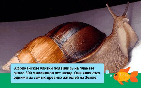 fakt o ślimak achatina