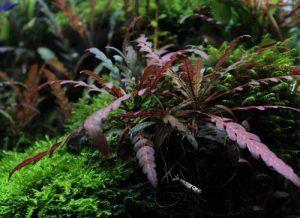Hygrophila pinnatifida (hygrophila pinnatifida)