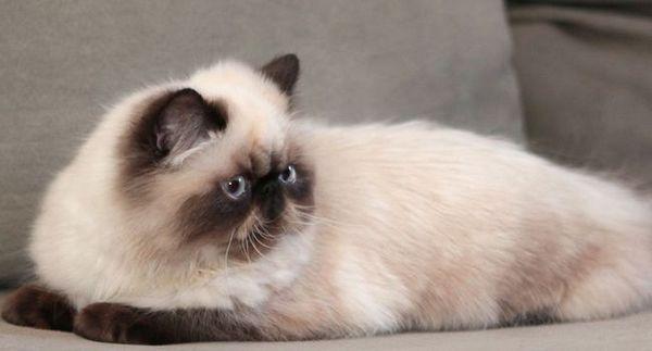 Хималайска котка - синьооко чудо