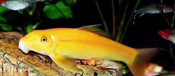 Гірінохейлус жовтий (золотий) водорослеед: зміст, розведення, фото