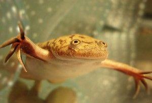 Гладка шпорцевая жаба, зміст в акваріумі
