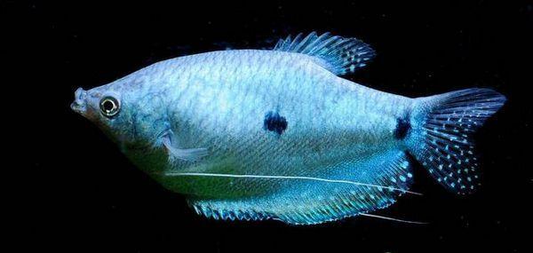 Блакитний гурамі в акваріумі