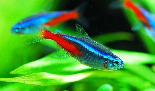 Блакитний неон - чарівна акваріумна рибка
