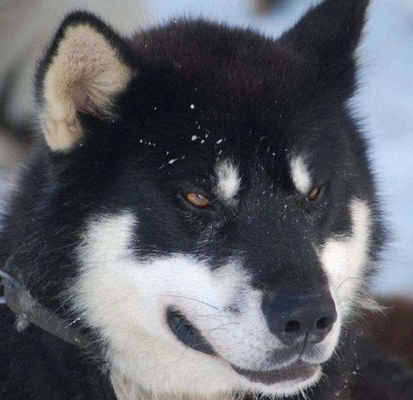 Гренландско шейно куче greenlandhund