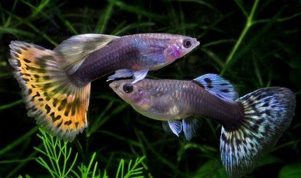 Гуппі - улюблені акваріумні рибки