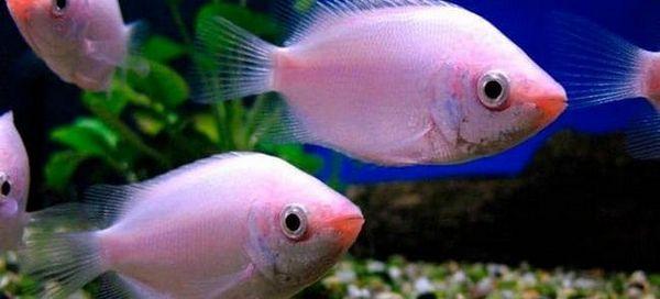 Гоурами и 18 компатибилних риба