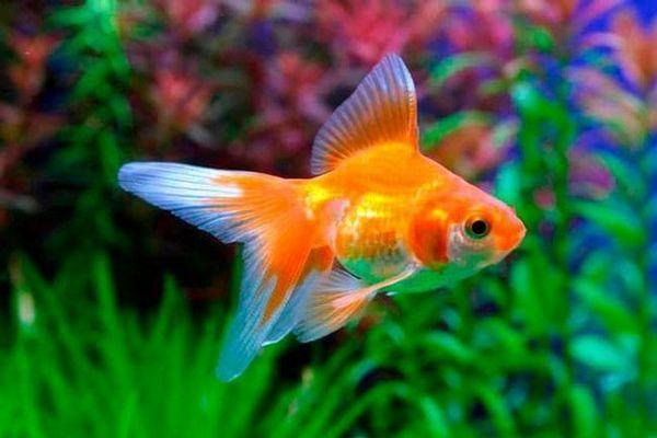 златне рибице