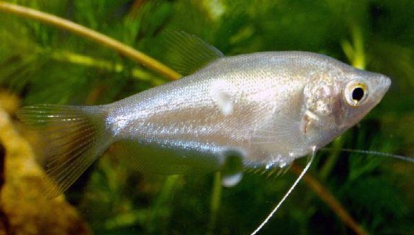 Księżycowe gourami z ryb akwariowych.