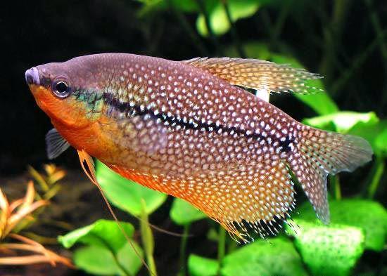 Гурамі перловий - ідеальний мешканець акваріума