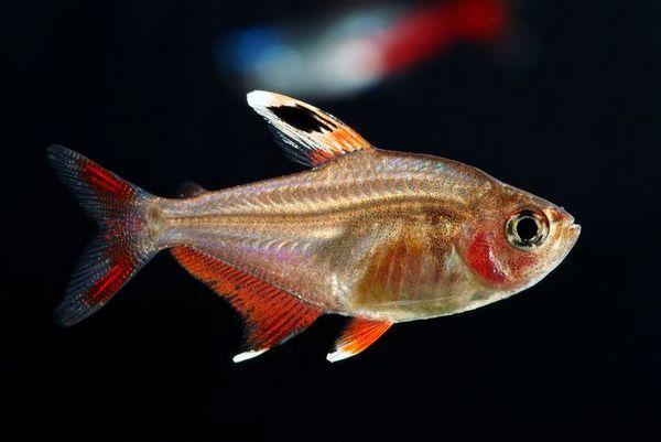 Акваріумна рибка орнатус: види, зміст, розведення