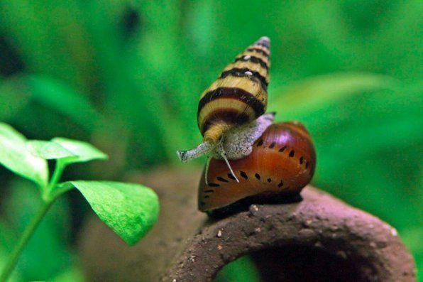 Zdjęcie ślimaka Heleny