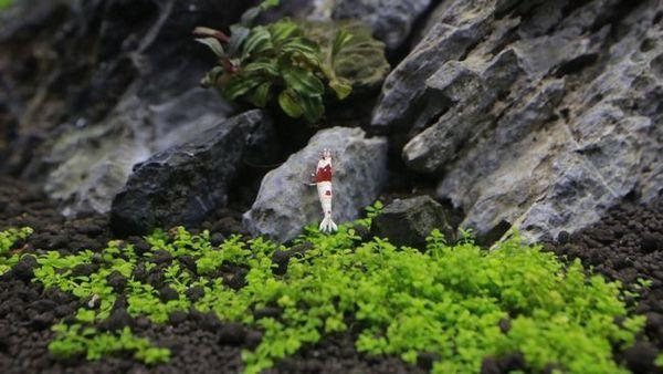 Hemianthus kuba - roślina okrywowa